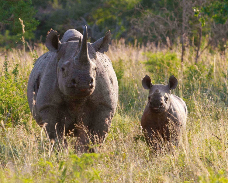 Good news on black rhino births for World Rhino Day 2020