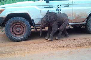 Baby elephant takes refuge by a WWF car along road to Campo Ma'an National Park  © WWF/Kudu Zombbo
