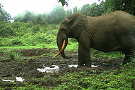 Elephant captured on Camera trap in the Mt Cameroon National Park  © PSMNTSWR camera trap