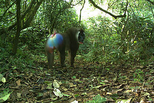 Drill Captured on camera trap in the Mt Cameroon National Park  © PSMNTSWR camera trap