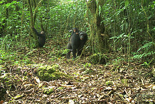 Chimpanzees and her young captured on camera trap inside Mt Cameroon National Park  © PSMNTSWR camera trap
