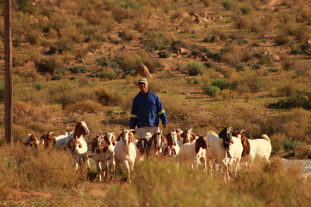 Kamiesberg herder and large flock of livestock