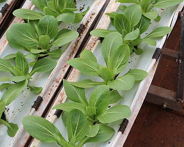 Hydroponically grown lettuce